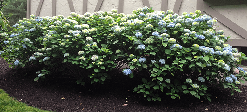 After hydrangea Picture
