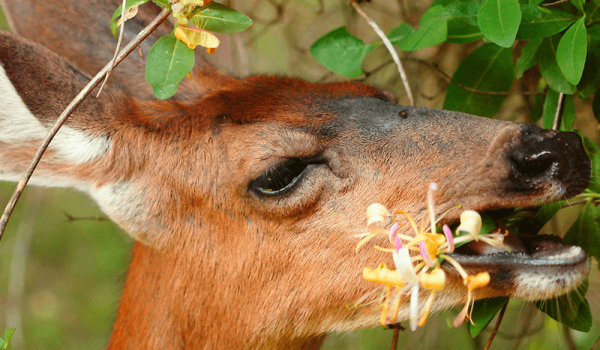 We can protect your flowers from deer damage